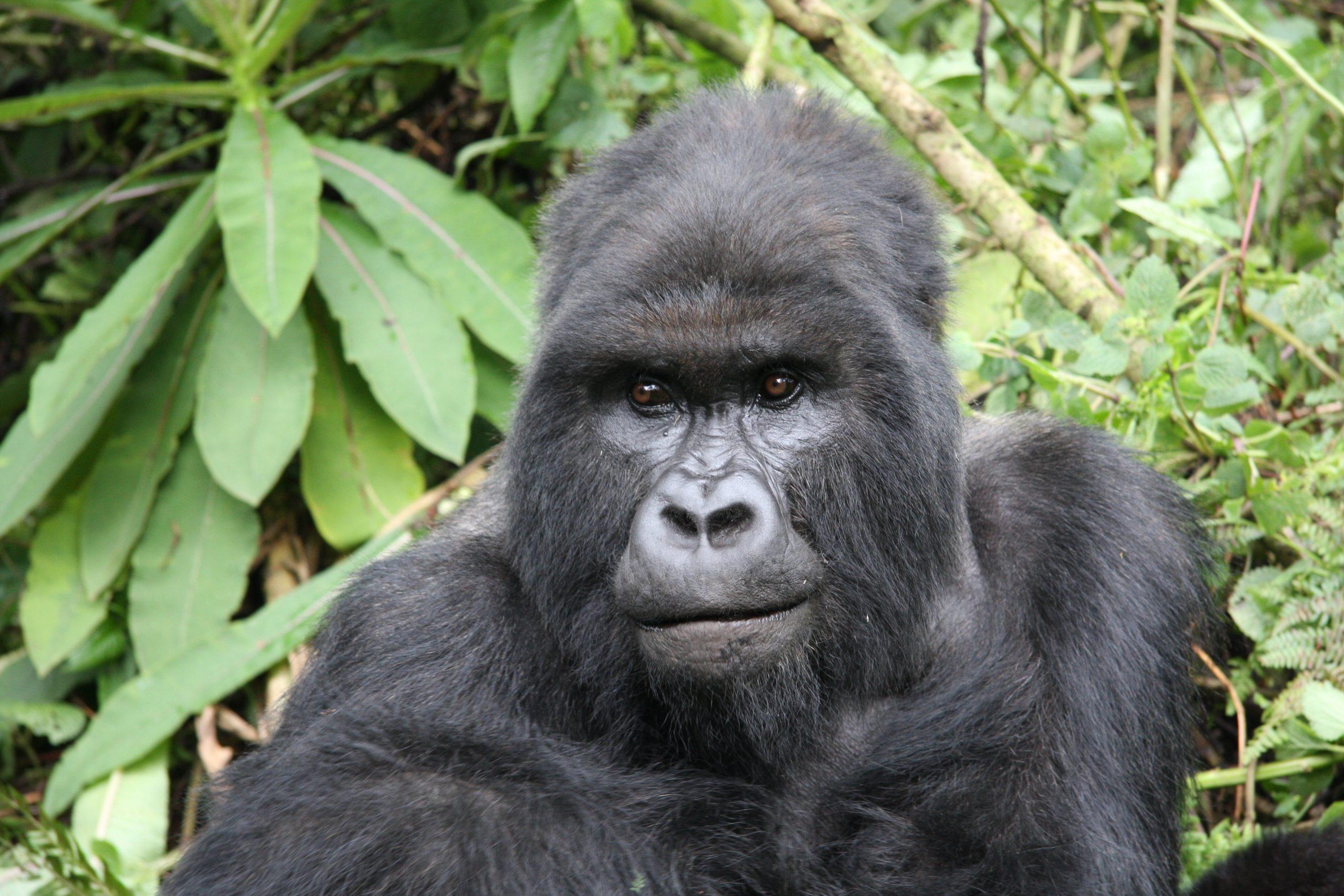 Dağ Gorilleriyle Randevu